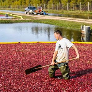 Man Harvesting Cranberries